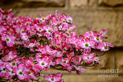 Photograph - Dogwood # 2 by Brenda Bostic