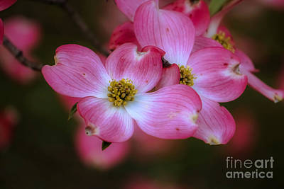 Photograph - Dogwood # 3 by Brenda Bostic