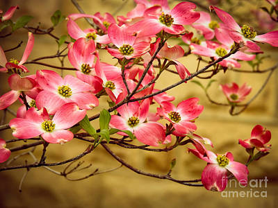 Photograph - Dogwood #5 by Brenda Bostic