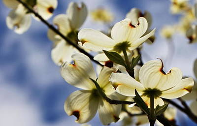 Photograph - Dogwood And Blue Sky by Katherine White