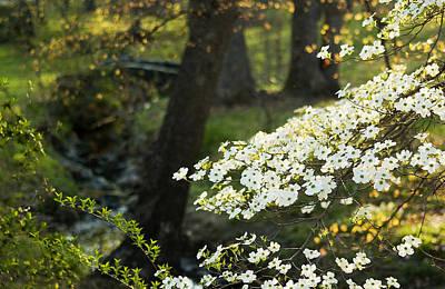Greensboro Photograph - Dogwood And Sunlight by Mark Wagoner