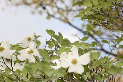 Dogwood Art Print by Angie  Wise