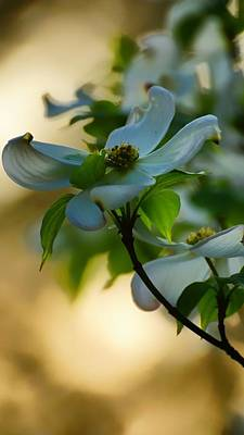 Photograph - Dogwood At Sunset by Beth Akerman