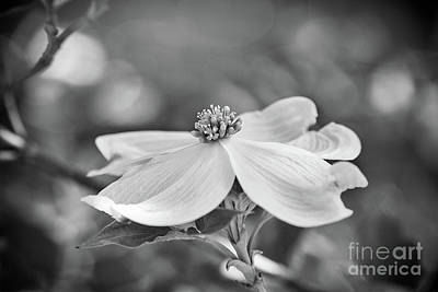 Photograph - Dogwood Bloom Black And White by Sharon McConnell