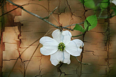 Dogwood Bloom Art Print by Cathy Harper