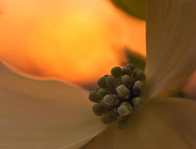 Photograph - Dogwood Bloom by Craig Szymanski
