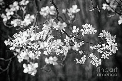 Balck Art Photograph - Dogwood Bloom In Black And White by George Oze