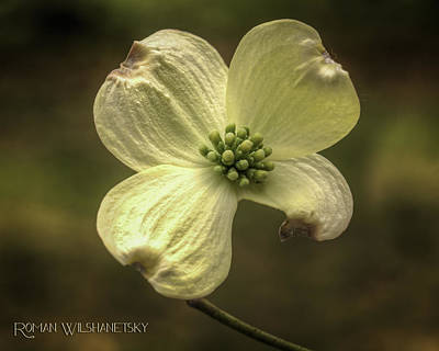 Photograph - Dogwood Bloom by Roman Wilshanetsky