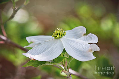 Photograph - Dogwood Bloom by Sharon McConnell