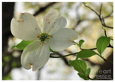 Dogwood Bloom Art Print