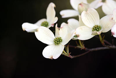 Photograph - Dogwood Blooms by George Jones