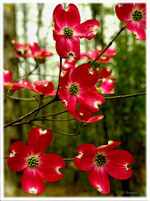 Photograph - Dogwood Blooms In The Spring by James C Thomas