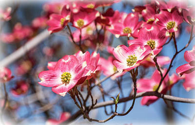 Photograph - Dogwood Blooms by Steph Gabler
