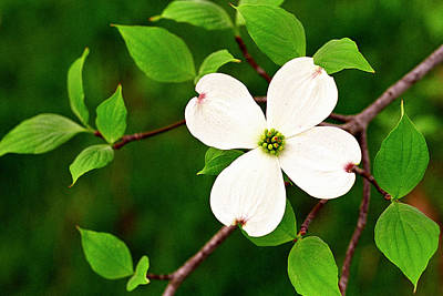 Dogwood Blossom Original