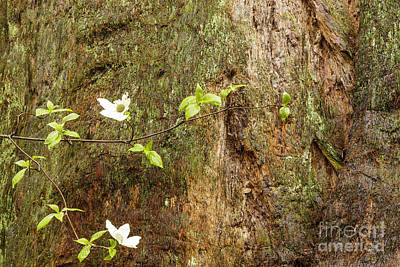 Photograph - Dogwood Blossom  by Ben Graham