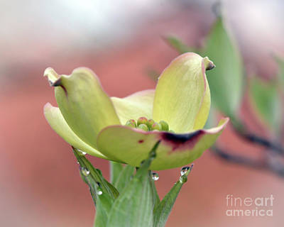 Photograph - Dogwood Blossom by Kerri Farley