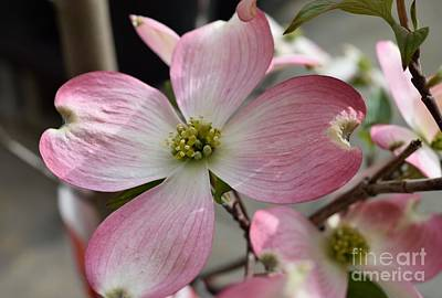 Photograph - Dogwood Blossom by Renee Olson