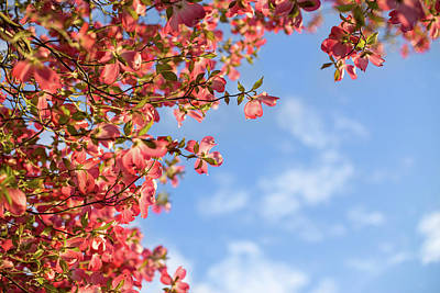 Photograph - Dogwood Blossoms And Blue Skies by Kunal Mehra