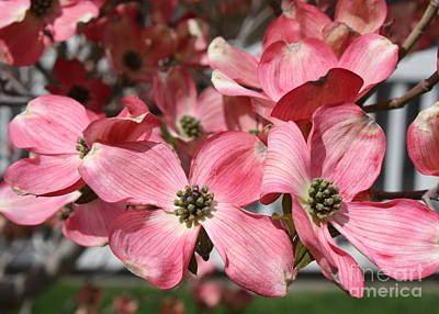 Trees Photograph - Dogwood Blossoms by Carol Groenen