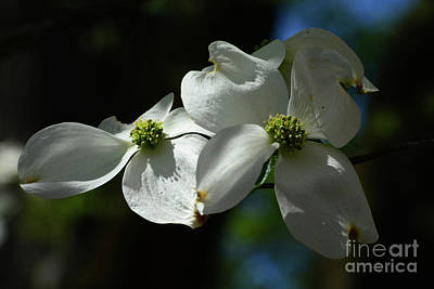 Photograph - Dogwood Blossoms by Cindy Manero