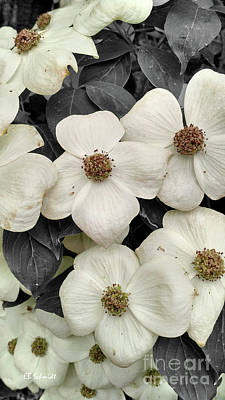 Photograph - Dogwood Blossoms by E B Schmidt