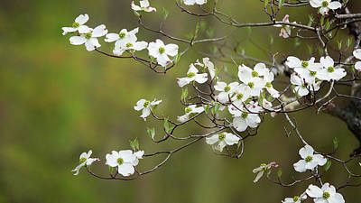 Photograph - Dogwood Blossoms by Jack Nevitt