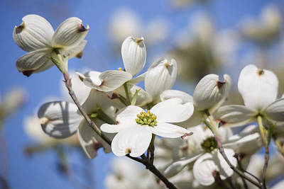 Photograph - Dogwood Blossoms by Jemmy Archer