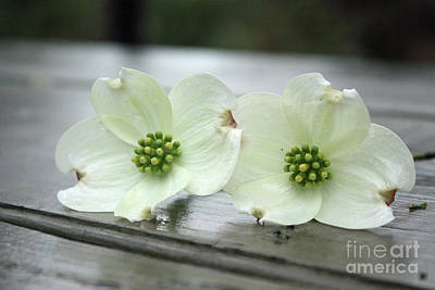 Photograph - Dogwood Blossoms by Jill Smith