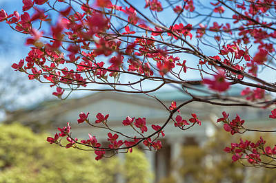 Photograph - Dogwood Blossoms by Jonathan Nguyen