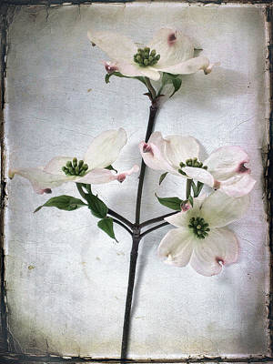 Photograph - Dogwood Blossoms by Louise Kumpf