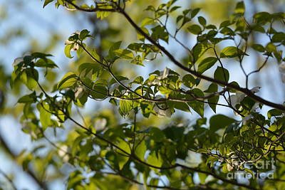 Photograph - Dogwood Canopy by Maria Urso