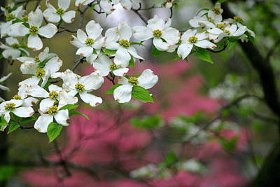 Photograph - Dogwood Days by Living Color Photography Lorraine Lynch