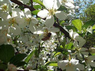 Photograph - Dogwood Daze by Carrie Viscome Skinner