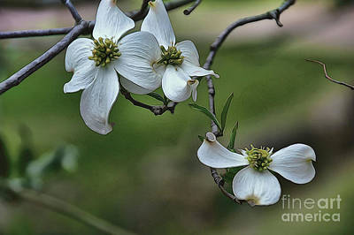 Photograph - Dogwood by Diana Mary Sharpton