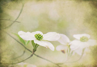 Photograph - Dogwood Dreaming by Deborah Smith