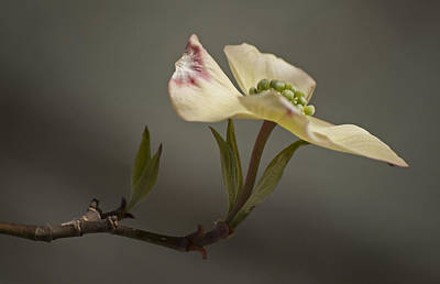 Photograph - Dogwood by Elsa Marie Santoro