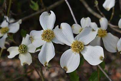 Photograph - Dogwood Flowers - Cornus Florida by rd Erickson