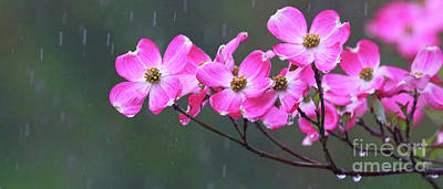 Photograph - Dogwood Flowers In The Rain 0552 by Jack Schultz