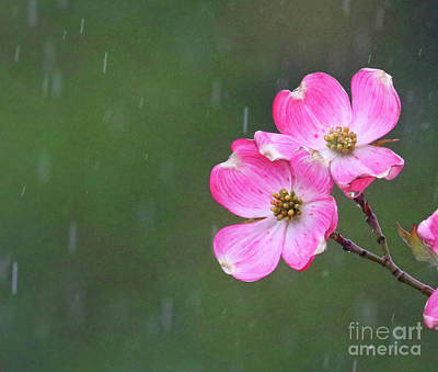 Photograph - Dogwood Flowers In The Rain 0553 by Jack Schultz