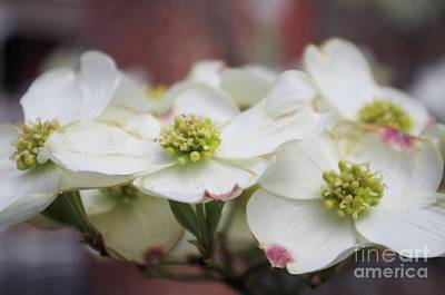 Photograph - Dogwood Flowers by John S