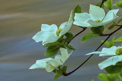 Photograph - Dogwood Flowers by Jonathan Nguyen