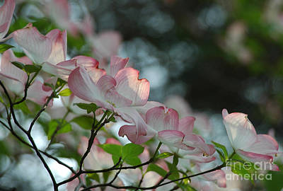 Photograph - Dogwood Flowers by Kathleen Gauthier