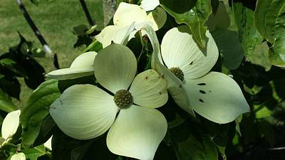 Photograph - Dogwood Flowers by Nikki Dalton
