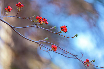 Photograph - Dogwood Fruit by Jonathan Nguyen