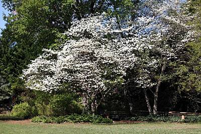 Photograph - Dogwood Heaven by Carolyn Jacob