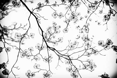 Dogwood In Bloom  Black And White Art Print by Mother Nature