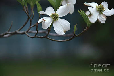 Photograph - Dogwood In Blue by Diana Mary Sharpton