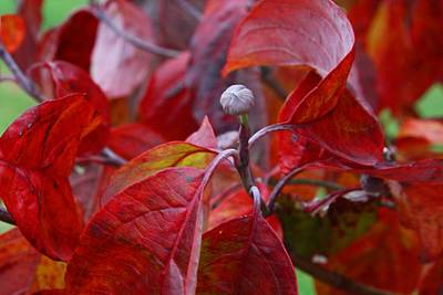 Photograph - Dogwood In Fall by Kathryn Meyer