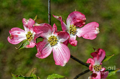 Photograph - Dogwood In Spring by Paul Mashburn