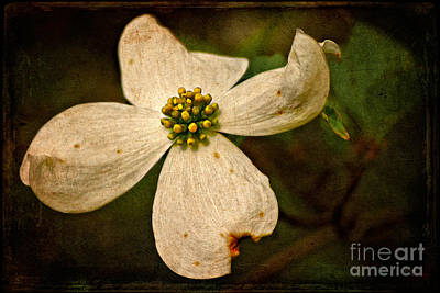 Photograph - Dogwood by Lois Bryan